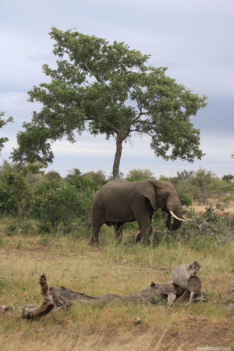 Südafrika 1000- Kruger-Nationalpark Elefant
