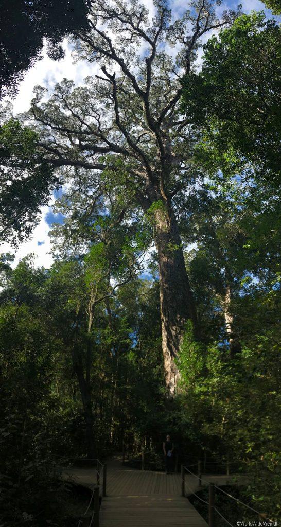 Südafrika 1387- Storm River Valley, Big Tree