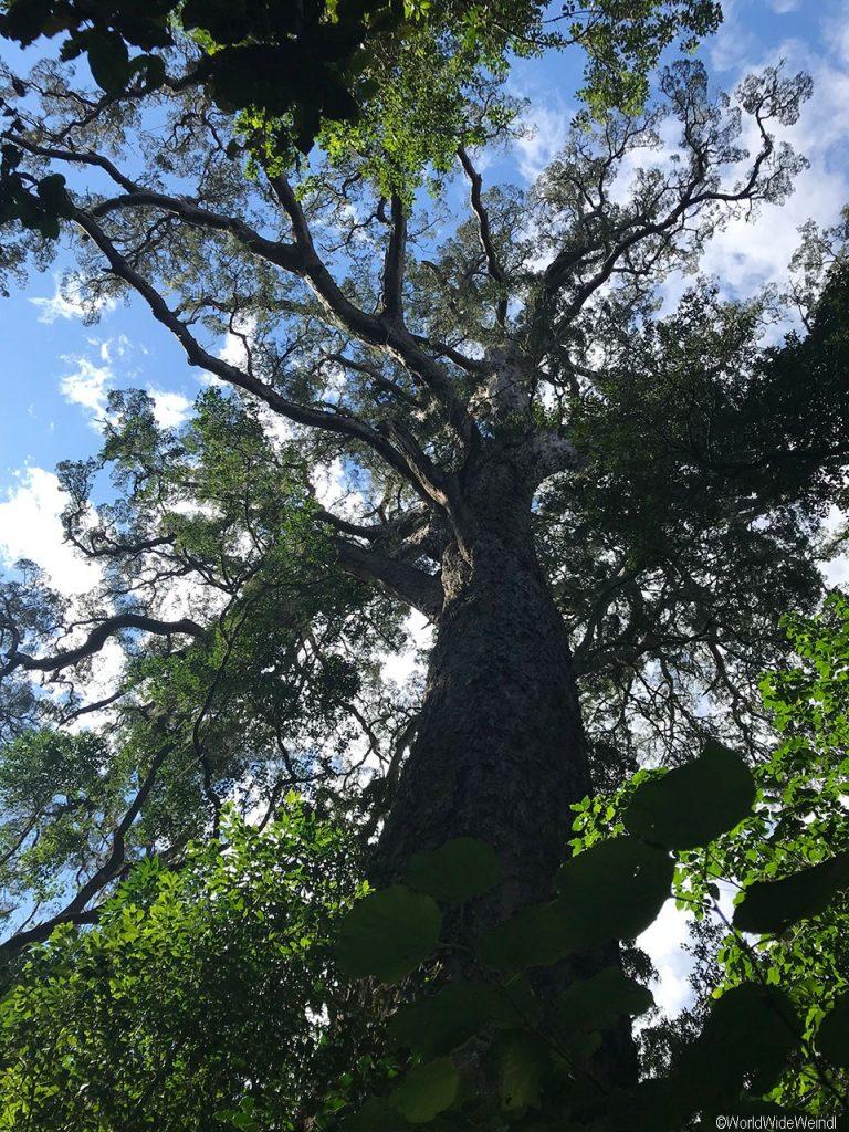 Südafrika 1388- Storm River Valley, Big Tree