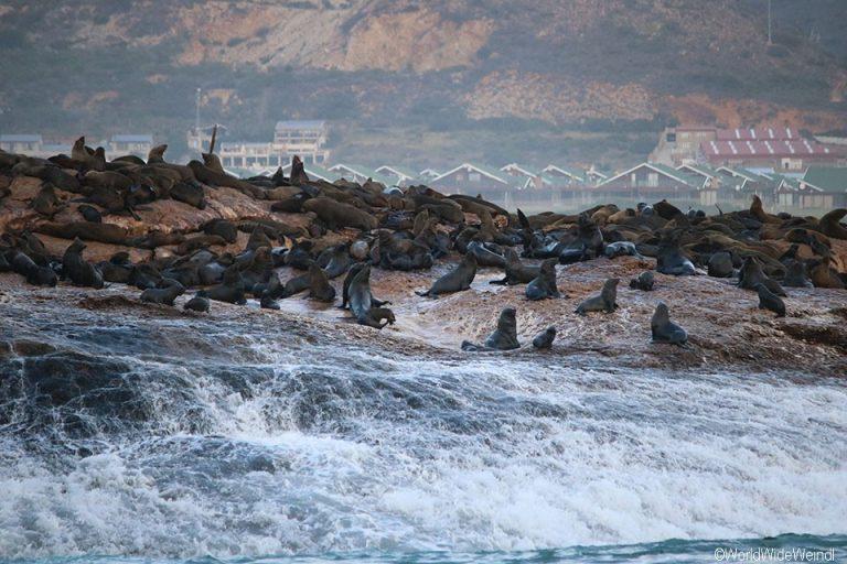 Südafrika 1665- White Shark Africa Robbeninsel