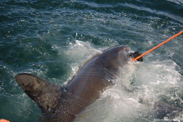 Südafrika 1730- White Shark Africa Weißer Hai