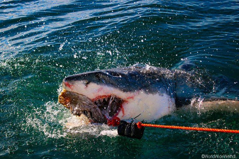 Südafrika 1705- White Shark Africa Weißer Hai