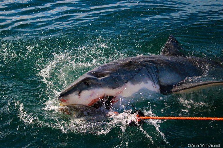 Südafrika 1710- White Shark Africa Weißer Hai