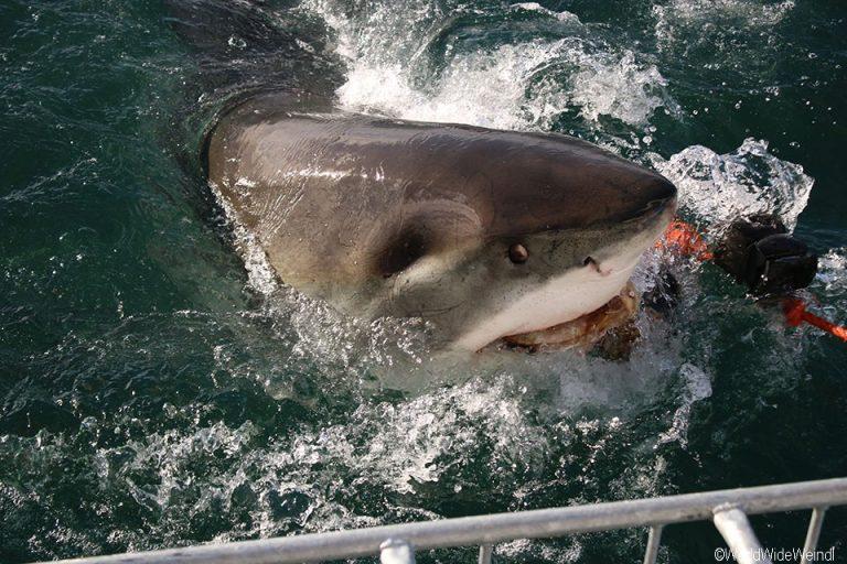 Südafrika 1725- White Shark Africa Weißer Hai