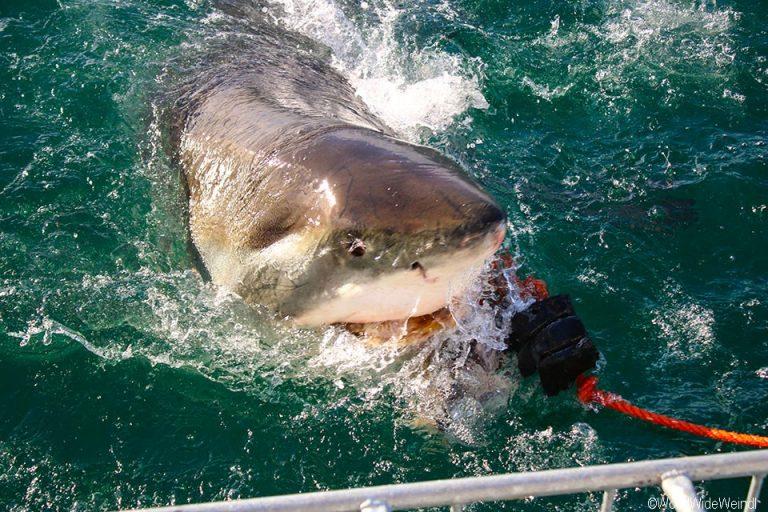 Südafrika 1720- White Shark Africa Weißer Hai