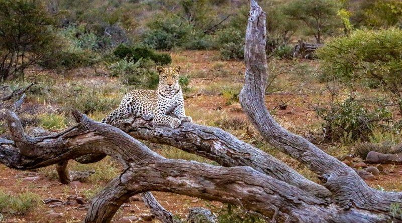Südafrika 670- Kruger-Nationalpark Sunset Drive Leopard